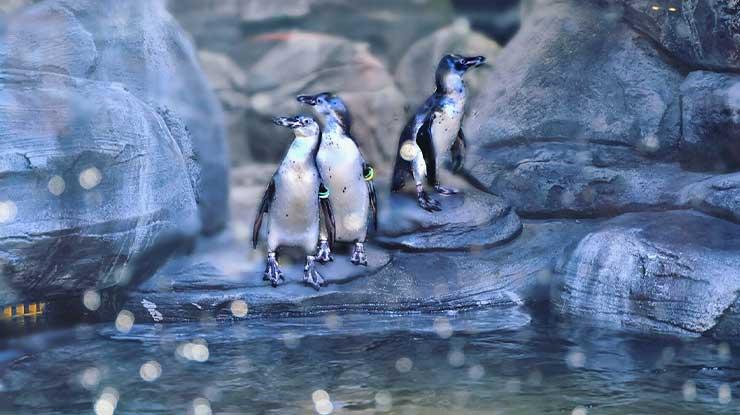 Feeding Penguin Jakarta Aquarium